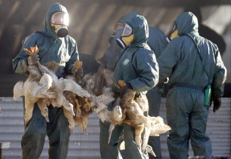 France culls,massive cull of ducks,ducks,bird flu,ducks after bird flu