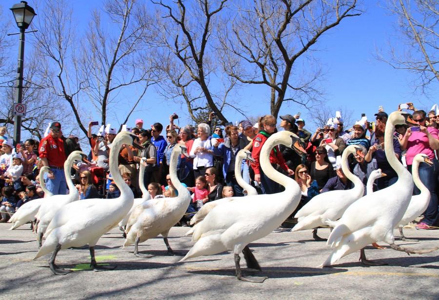 Canada Ontario Swan Parade Photos,Canada Ontario Swan Parade Pictures,Canada Ontario Swan Parade images,Canada Ontario Swan Parade