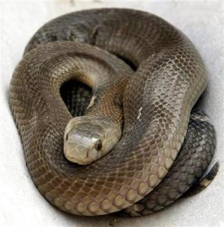 Snake [Representational Image]
