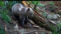 pyrenees-orphan-bear-cub-gets-brand-new-home