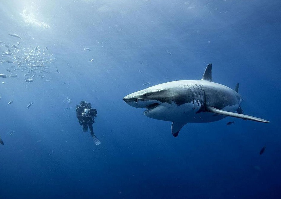2 great white shark at...