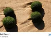 UFO or alien eggs? Hundreds of mysterious green, sponge-like balls have been washed ashore in a northern Sydney beach.