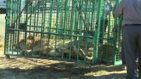 gaza-sends-lions-to-jordan-after-war-damages-zoo