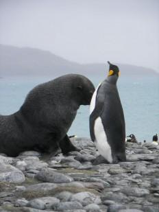 Seals are Sexually attacking penguins