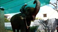 cambodian-capitals-only-working-elephant-to-retire-in-jungle