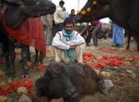 "A herder sits inside an enclosure for buffalos awaiting sacrifice on the eve of the sacrificial ceremony for the ""Gadhimai Mela"" festival in Bariyapur November 27, 2014."