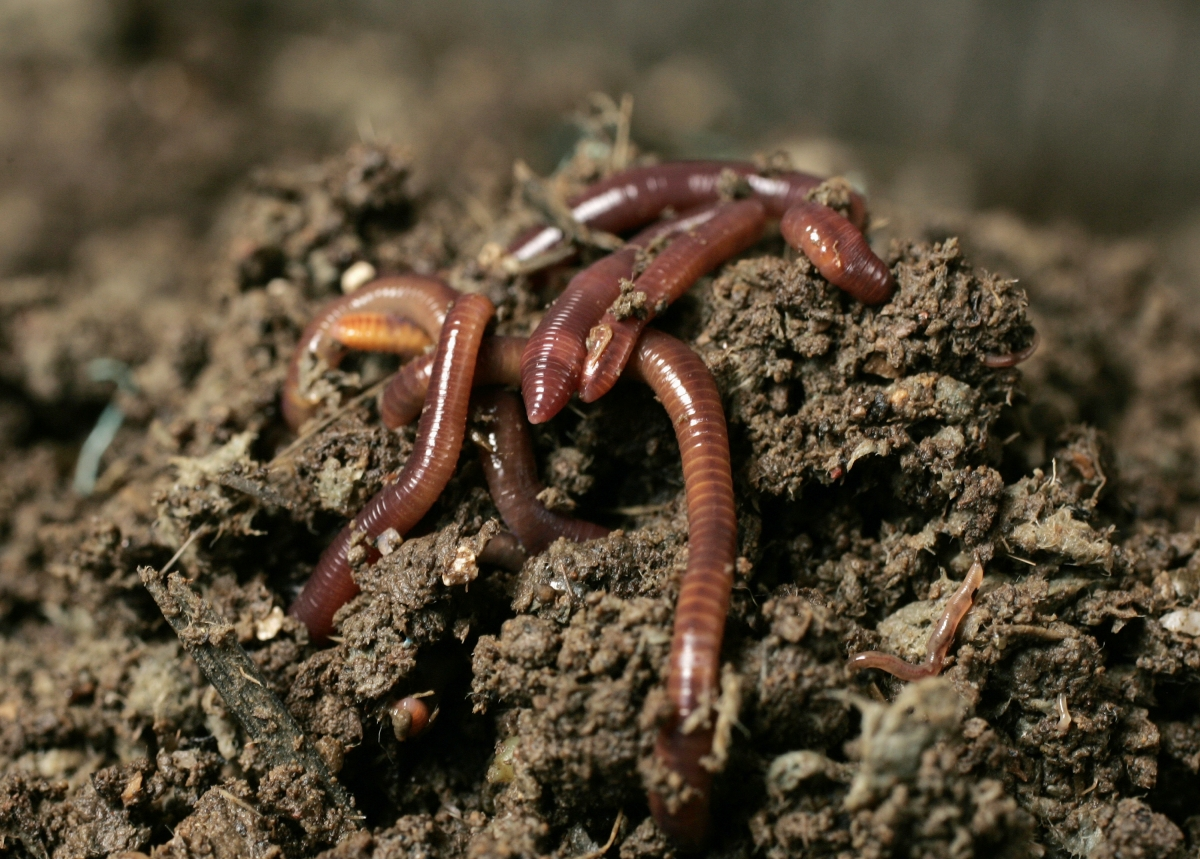 earthworms - photo #32