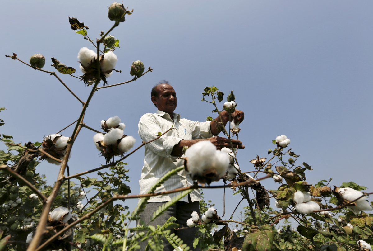 bt cotton Bt-cotton in india: remarkable adoption and benefits dr t m manjunath india made its long-awaited entry into commercial agricultural biotechnology in march 2002.