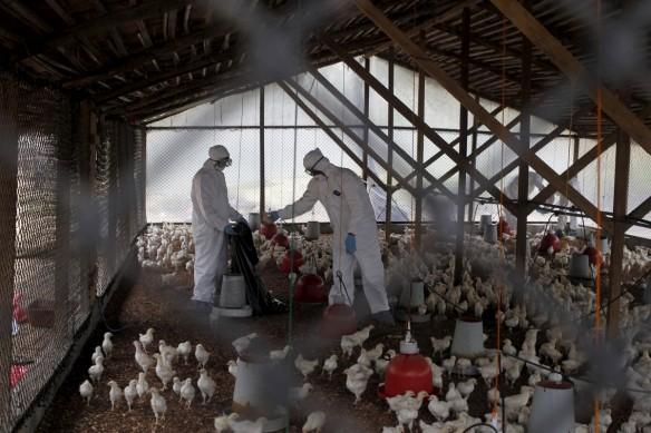 India is declared bird flu- free