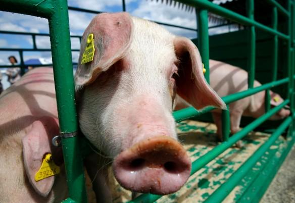 Superbug gene found in pigs