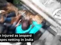 Man injured as leopard escapes netting in India
