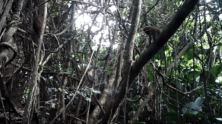 New population of Dryas monkey thought extinct is discovered in central Congo Basin