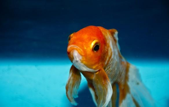 Goldfish, tumor, health, UK, weird news,