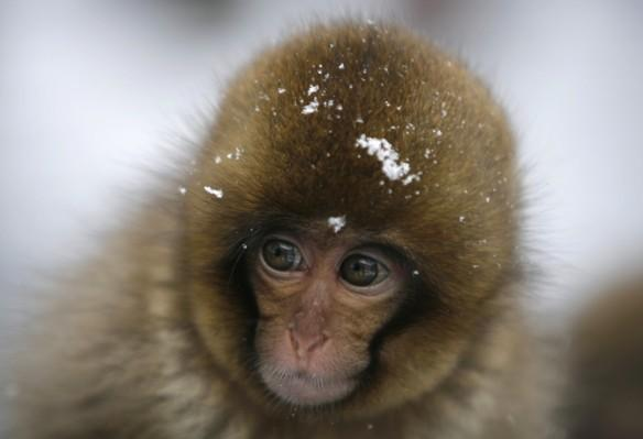 snow monkey, Japan, monkey, animal, culled,
