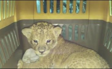 Smuggled lion cub discovered among thousands of parrots
