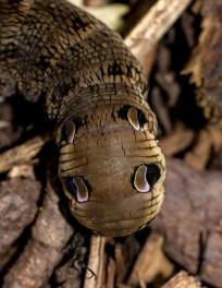 elephant hawk moth caterpillar, insect, weird,creature,