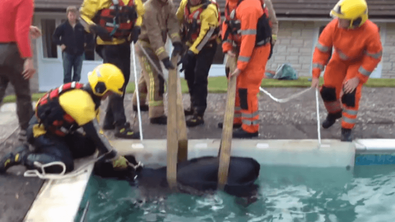 Cow saved from drowing in a familys pool after falling in