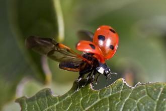 ladybug, wings,