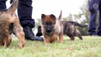 Queensland Police Forces adorable new recruits are of the fluffy variety