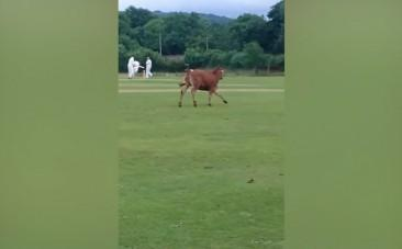 Watch this cow charge through a cricket match