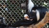 Stunning white Angolan colobus monkey born at Zoo Atlanta