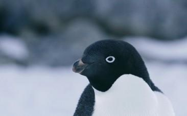 GoPro video shows Antarctica from a penguins point of view