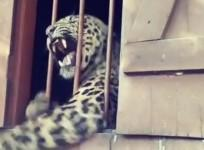 Leopard mauls four people while roaming primary school