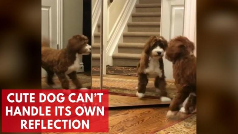Watch adorable moment dog cant handle its own reflection