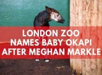 London Zoo names new-born Okapi Meghan after Meghan Markle