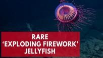 This jellyfish looks exactly like an exploding firework
