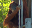 perth-zoos-puan-the-orangutan-becomes-the-oldest-in-captivity