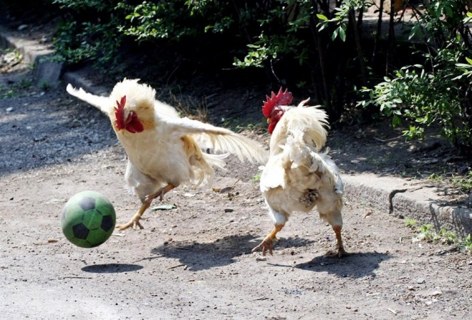 Roosters [Representation Pic]