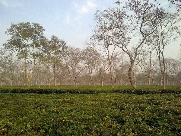 A tea plant in Assam