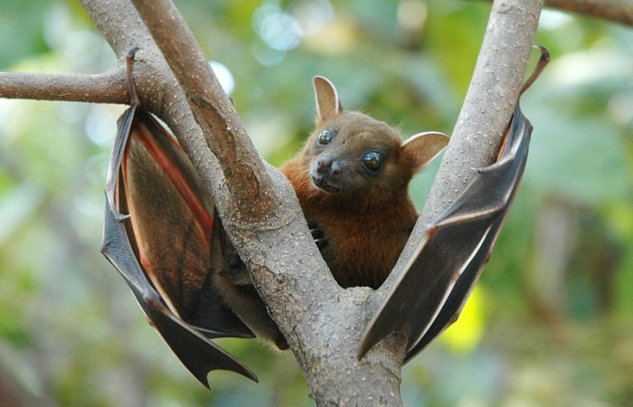 Bat-Eating Curbed as Deadly Ebola Virus Spreads