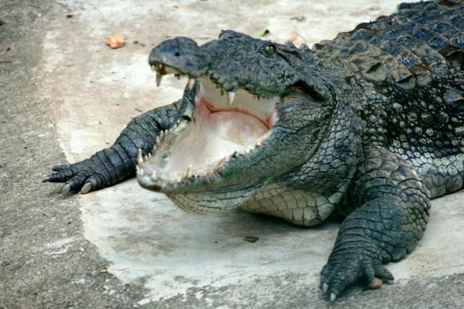 Crocodiles (Representational Image)