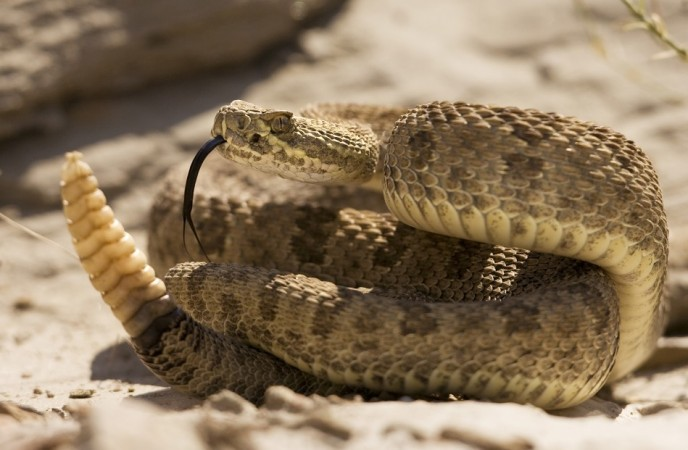 Centipede Bursts Out from Young Snake's Stomach [Representational Image]