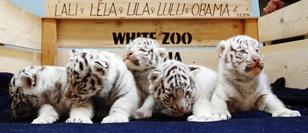 The cub on the extreme right side is 'Obama'.