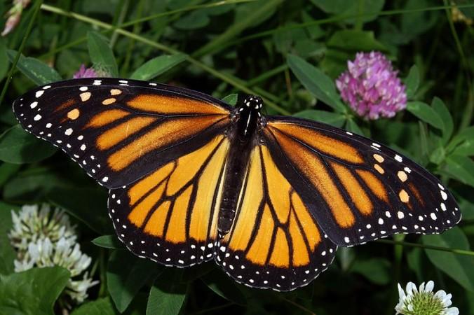 Monarch Butterfly (Wikimedia Commons/Kenneth Dwain Harrelson)