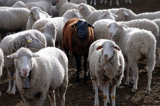 sheep (Wikimedia Commons/Jesus Solana)