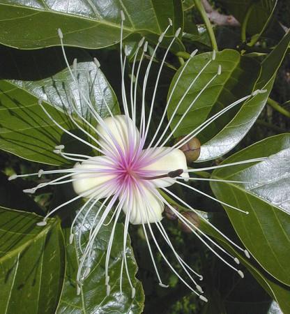 Flower (Wikimedia Commons/Maksim)