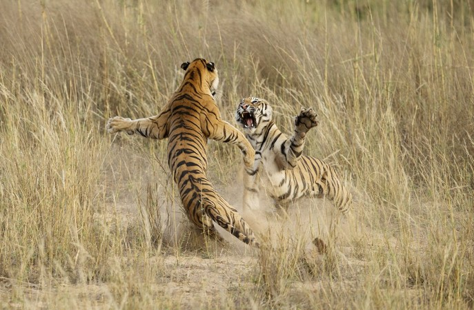 Playful fight among two young tigers by Archana Singh