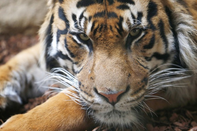 Tiger population on the rise in India.