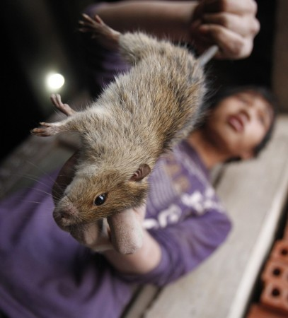 El Nino effect: Farmers in Philippines have taken to eating rats due to acute food shortage brought on by crop loss.