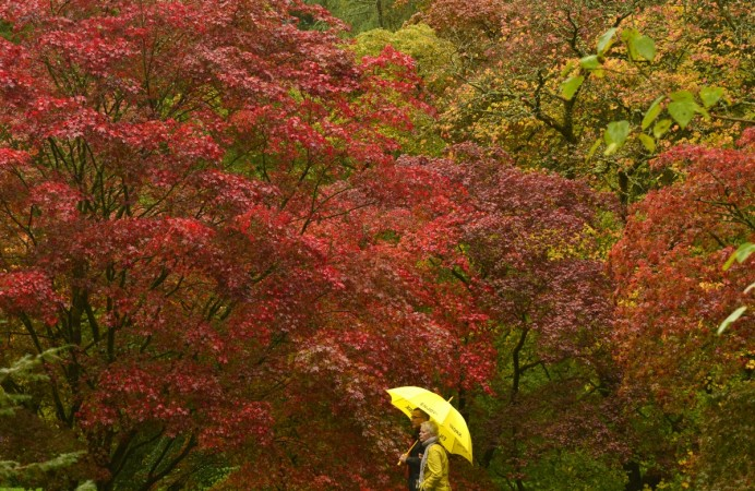 Visitors View The Autumn Foliage Of Acer Trees In The Old Arboretum At  Westonbirt In South West England. The Japanese Maples Are Some Of The First  Species ...