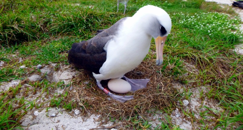 Wisdom incubating an egg
