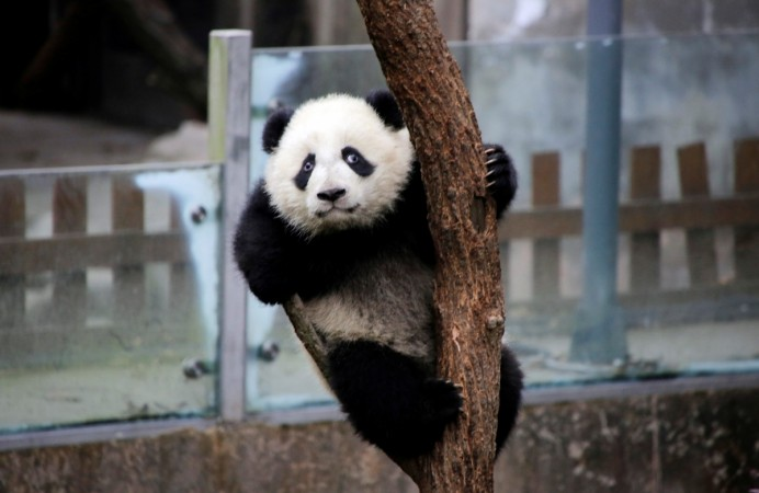 A baby giant panda plays on a tree at Chengdu Research Base of Giant Panda Breeding in Chengdu, Sichuan province, China