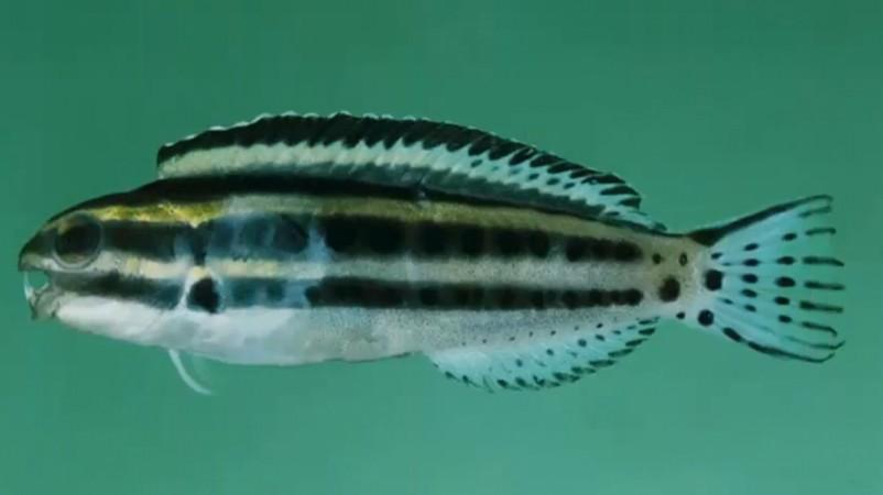 fish, Fang blennies, pain killers, poisonous, health,