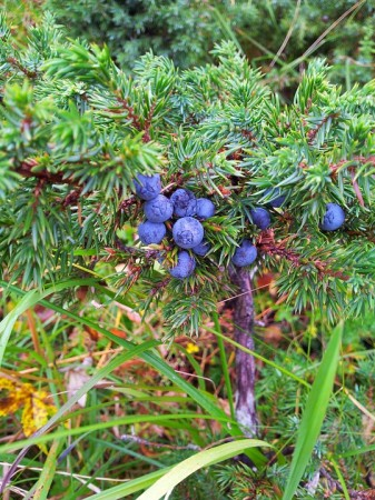 juniper berries, gin, health,metabolism,