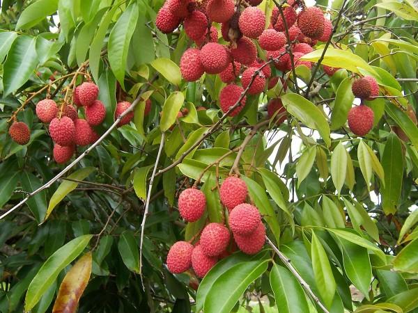 litchi, bihar litchi producing state, agriculture, litchi farming, litchi in india, litchi juice