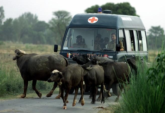 Buffaloes blocking the way